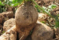 کشت چغندر قند در ۱۰۵۰ هکتار از اراضی گلستان