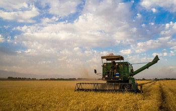 بیش از 480 هزار تن گندم از کشاورزان گلستانی خریداری شده است