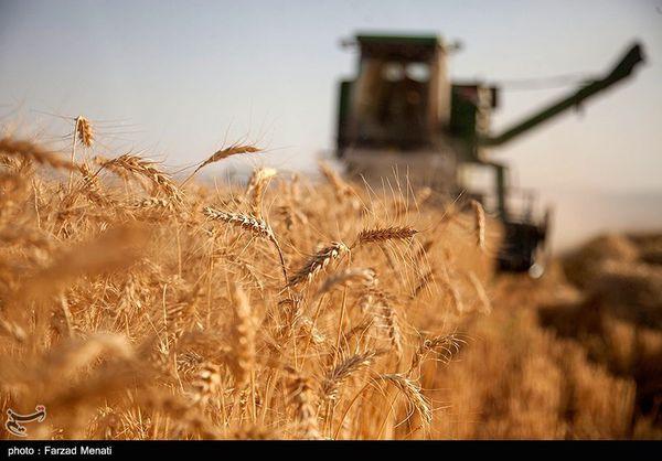 مجری طرح گندم وزارت جهادکشاورزی: در ۶.۱ میلیون هکتار از اراضی کشور گندم کشت شد