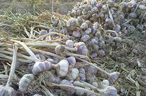 تولید بیش از هزار تن سیرخشک در گلستان