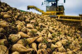 تولید بیش از ۱۷۲ هزار تن چغندرقند در گلستان