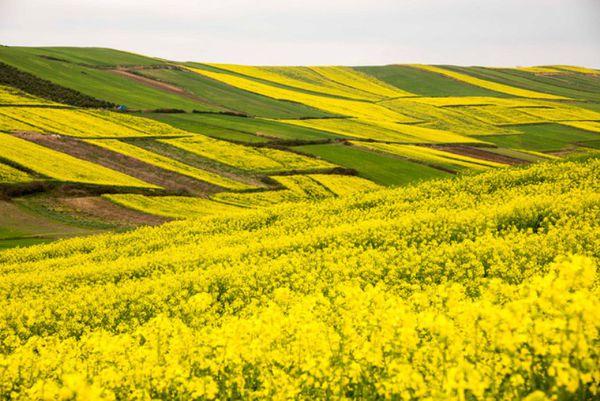 سطح سبز کلزا امسال گلستان 87 هزار هکتار است