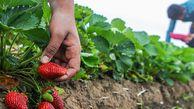 جای خالی صنایع تبدیلی برای توتفرنگی گلستان