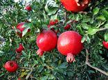 تولید انار به ارزش ریالی ۱۵ میلیارد تومان در گنبدکاووس