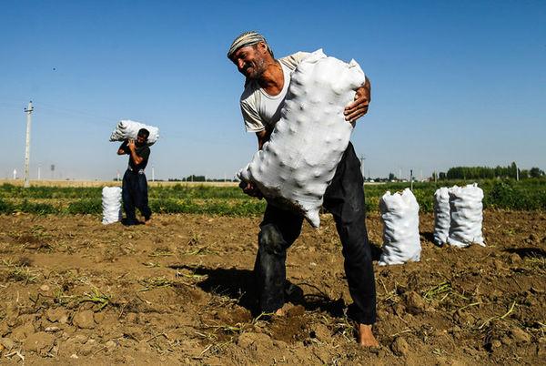 کشاورزان گلستانی از قصه پر غصه سیبزمینی به فریاد آمدند