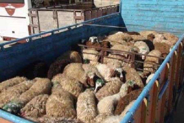 ۹۰ رأس دام قاچاق در آق قلا کشف شد