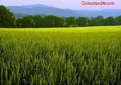 خرید گندم و جوی بذری