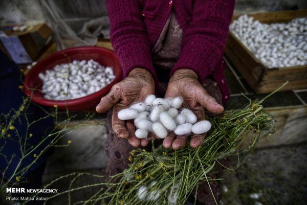 بی توجهی دولت به ابریشم گلستان