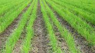 چرا خشکهکاری برنج؟