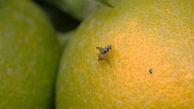 تاکید بر جمع آوری سریعتر نارنجها / مگس مدیترانهای کنترل شده، اما از بین نرفته