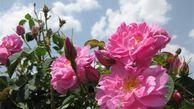 ۶۰۰ تن گل محمدی از گلستانهای نطنز برداشت میشود