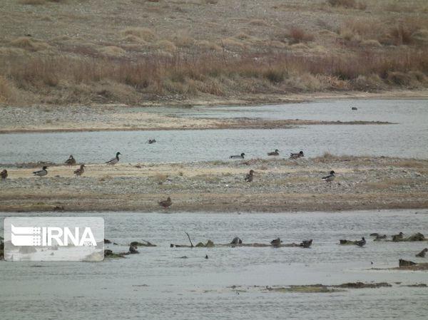 ۷۰ هزار قطعه پرنده مهاجر در تالابهای گنبدکاووس سرشماری شدند