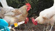 تزریق ۵۰ میلیون دز واکسن آنفلوانزای مرغی در ۱۲ استان