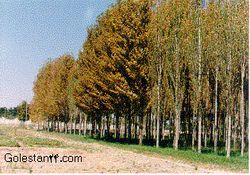زراعت چوب