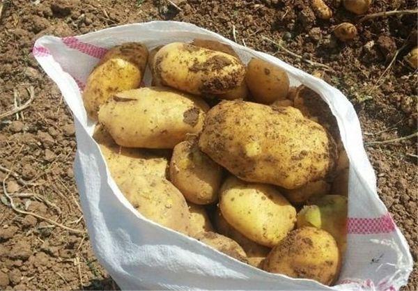 روسیه می تواند بازار مناسبی برای سیب زمینی گلستان باشد