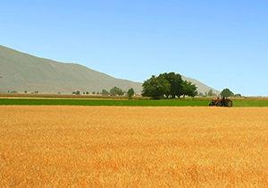 پیش بینی برداشت ۲۰ هزار تن محصول جو در گلستان