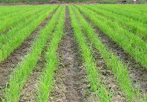 افزایش ۲۰ درصدی تولید شالی با روش خشکه کاری