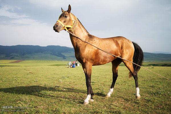اسب ترکمن  در زادگاه حقیقی خود مهجور مانده است/«اسب» همسایه غاز است