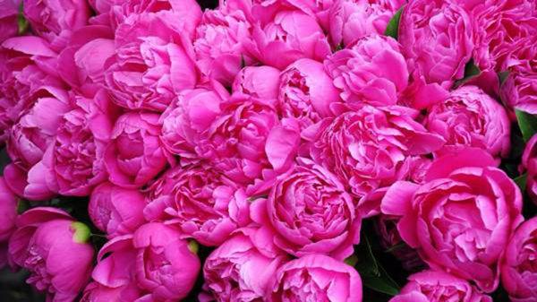کشت گل محمدی در ۲۴ هکتار از اراضی مناطق کوهستانی گلستان