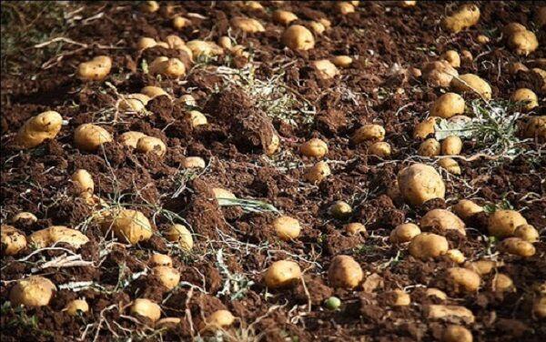 خرید توافقی سیب زمینی در گلستان سودی برای کشاورزان ندارد