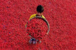 برداشت فلفل قرمز در بنگلادش +تصاویر