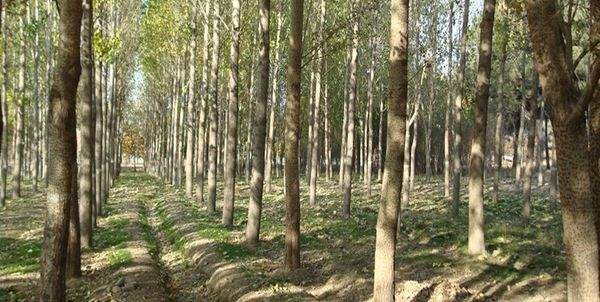 زراعت چوب در 115 هکتار از اراضی مستثنیات شهرستان گنبدکاووس