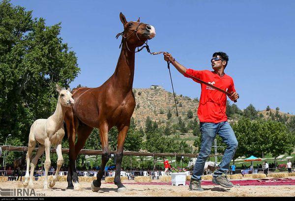 قضاوت 2 داور خارجی اسب های اصیل ترکمن