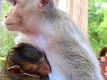 لحظات زیبای شیردادن میمون به فرزندش +فیلم