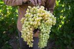انگور؛ درمانی طبیعی برای کلیهها