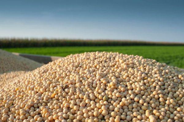 پیش بینی  برداشت حدود ۲۵ هزار تن محصول  سویا از مزارع گلستان