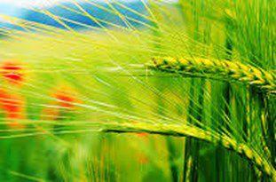 وضعیت زراعتها در علیآبادکتول بسیار خوب است