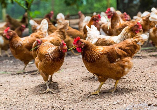 توصیه مدیر طیور جهاد کشاورزی به زنان روستایی در پرورش طیور