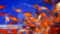 ماهی قرمز کرونا را منتقل میکند؟