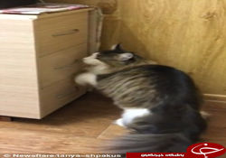 این گربه مانند انسانها از کمد استفاده می کند+تصاویر