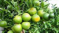 برداشت ۶ هزار تن نارنگی در گلستان