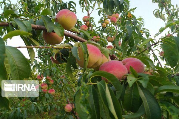 تولید محصولات باغی آزادشهر ۶۰ درصد کاهش یافت