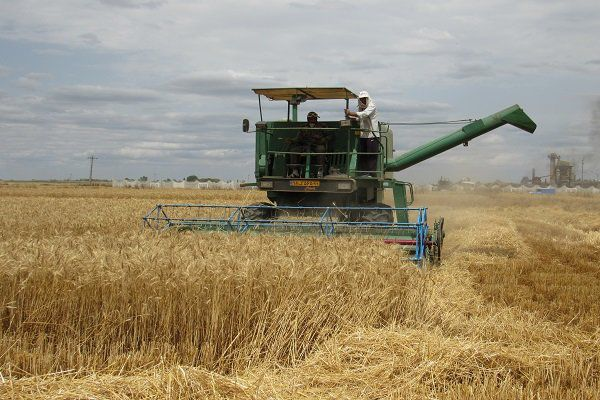 جریمه ۱۱۵ میلیاردی برای قاچاق گندم در کردکوی / استرداد 4 هزار تن کسری گندم به دولت