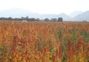 تولید کینوا در استان گلستان