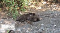 اعلام علت مرگ خرس قهوه ای در گلستان