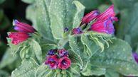 گل گاوزبان آزادشهر به کشورهای همسایه  صادر میشود