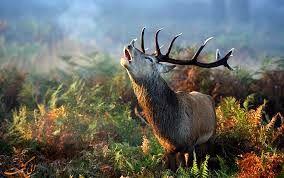 شکارچیها در زمان گاوبانگی بمنظور شکار صدای گوزن تقلید میکنند/ گردشگران فارغ از جنسیت در مناطق محیطزیستی حضور دارند