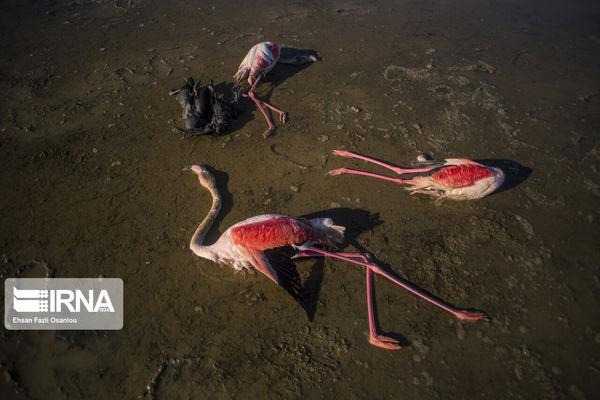 سایه مرگ بر سر پرندگان میانکاله؛ شکار تا مسمومیت