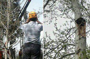 توضیحات روابط عمومی شهرداری گرگان درباره قطع دو درخت در پارک شهر