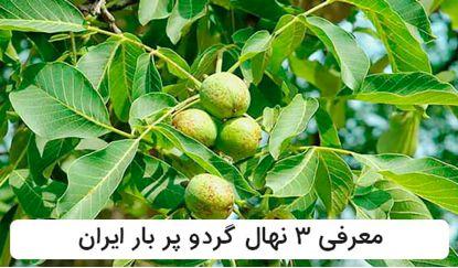 معرفی 3 رقم از نهال های گردو پر بار ایران