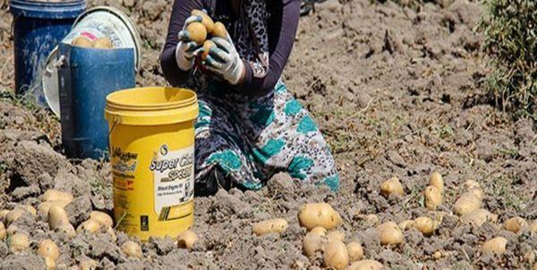 ناکارآمدی مدیران بخش کشاورزی گلستان در حمایت از سیبزمینیکاران