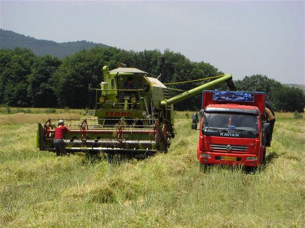 کلزاکاران گلستان در برداشت محصول عجله کنند
