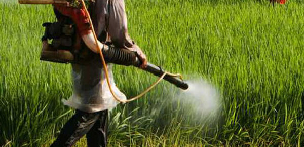 کشاورزان گلستانی مزارع گندم خود را سم پاشی کنند/مشاهده بیماری زنگ