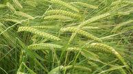 معرفی ارقام جدید چند محصول به کارشناسان کشاورزی گلستان