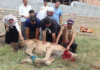 گزارش تصویری/ نحر شتر به مناسبت عید قربان در بندرترکمن