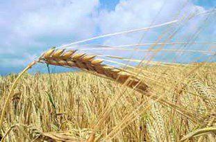 وضعیت خرید گندم از کشاورزان